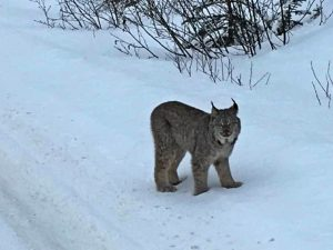 Lynx sighting, Jasper in the winter