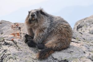 Marmot sitting on a rock, looking towards the camera