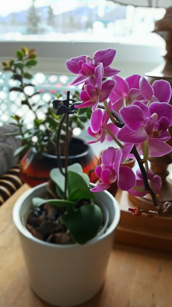 An easy pink orchid for beginners that rebloomed in the home