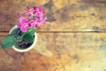 a pink reblooming orchid in a white pot, sitting on a wooden table