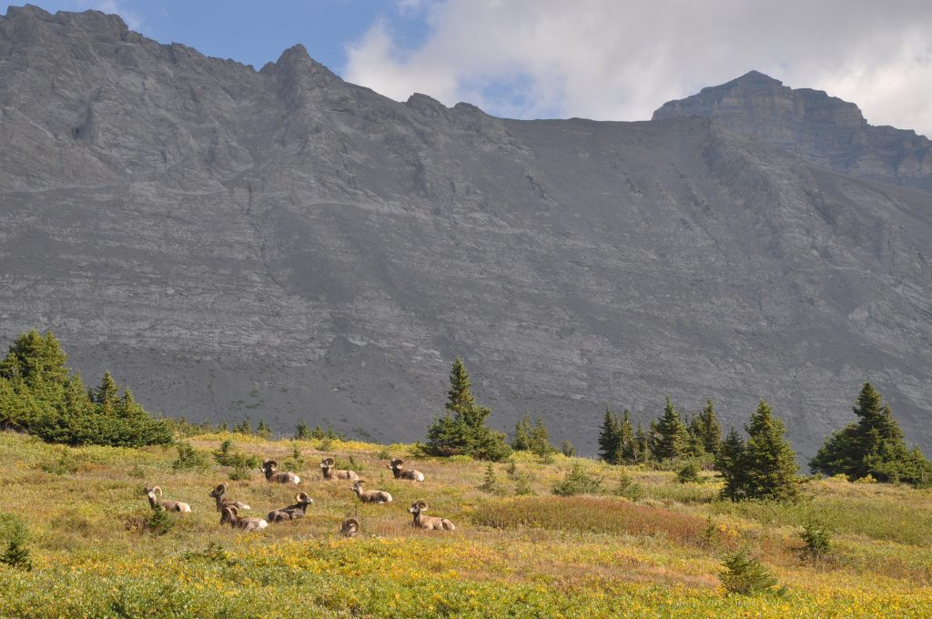 Bighorn sheep are frequently seen on the Wilcox Pass trail in Jasper National Park