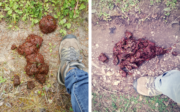 two piles of bear scat with an adult shoe for size comparison