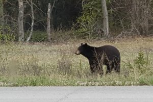A black bear on the side of the road