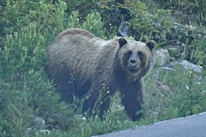 A mother grizzly on the side of the road