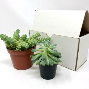 two succulents from the monthly house plant subscription box