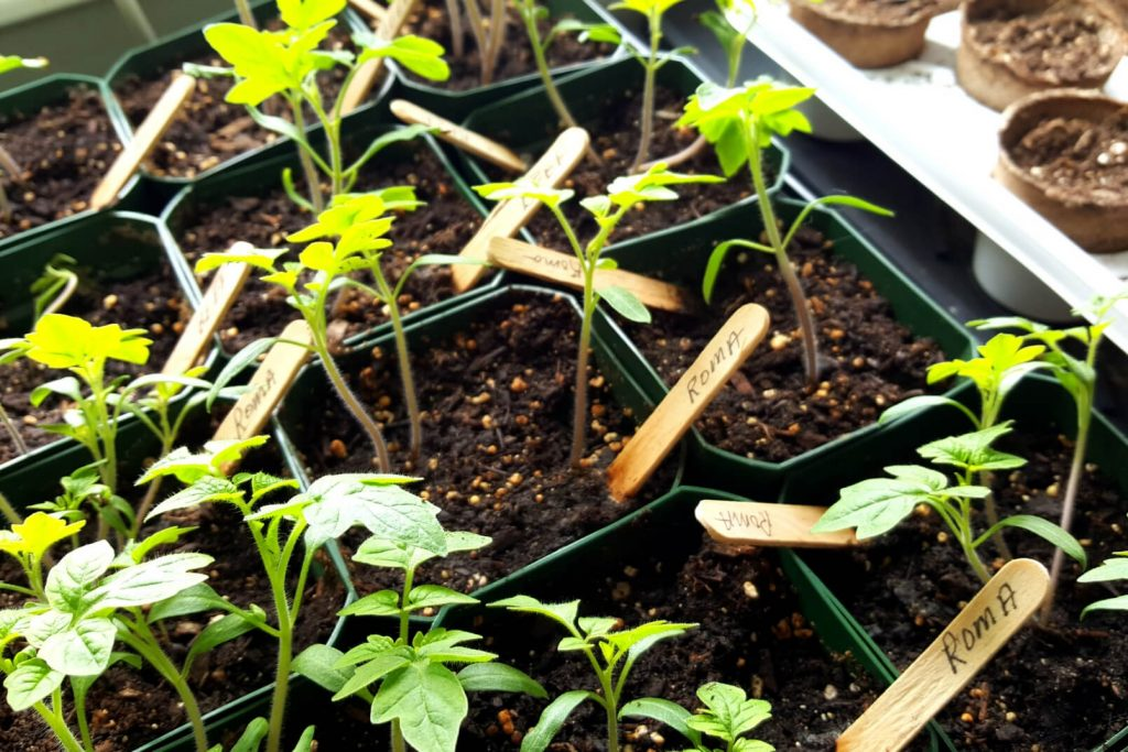 tomato seedlings are easy plants to grow with kids