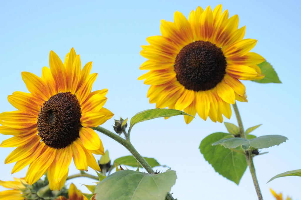 two large yellow sunflowers against a blue sky