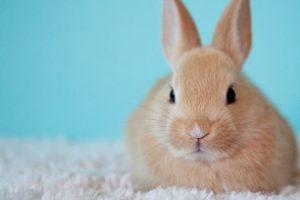 a cream pet bunny